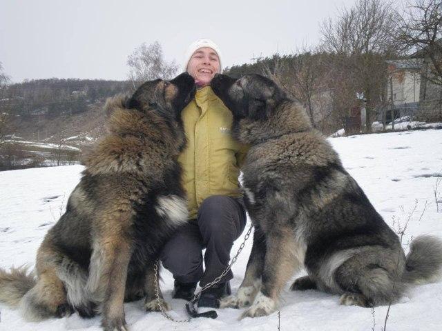 Плюсы и минусы породы кавказская овчарка