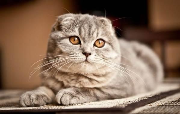 Шотландская вислоухая кошка — плюсы и минусы породы