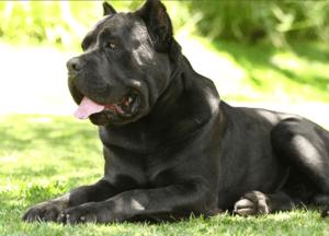 Плюсы и минусы породы собак Кане-корсо