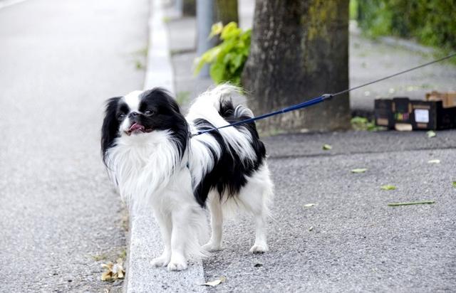 Японский хин — плюсы и минусы породы собак